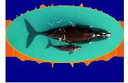 Amelia Island Right Whale Nursery Graphic 120